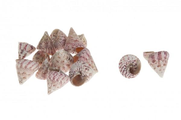 Trochus maculatos natur