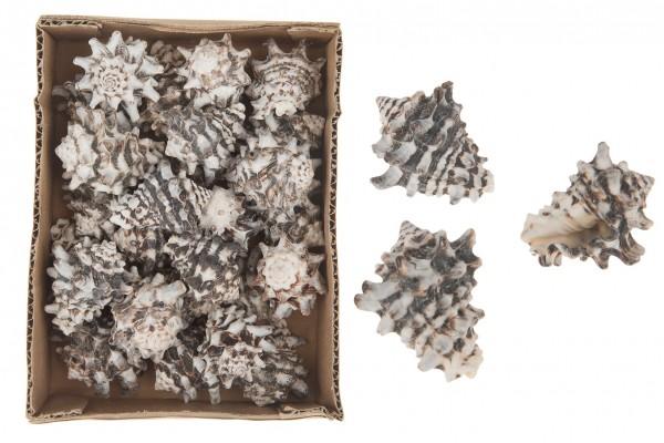 Vasum cornigerum 1kg Muscheln