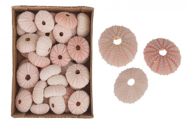 Seeigel Gehäuse rosé Pink Urchin 3-5cm/ 20 Stück